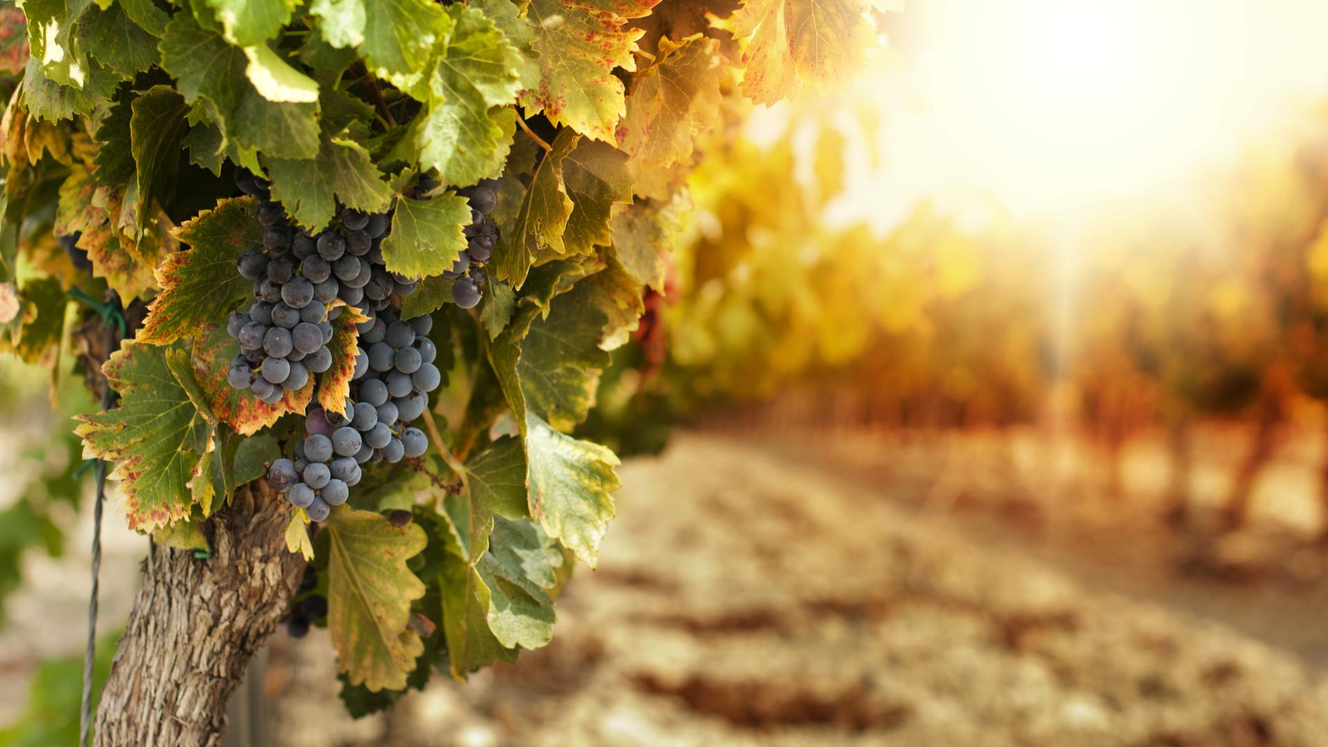 Vigne AOC du Loir-et-Cher