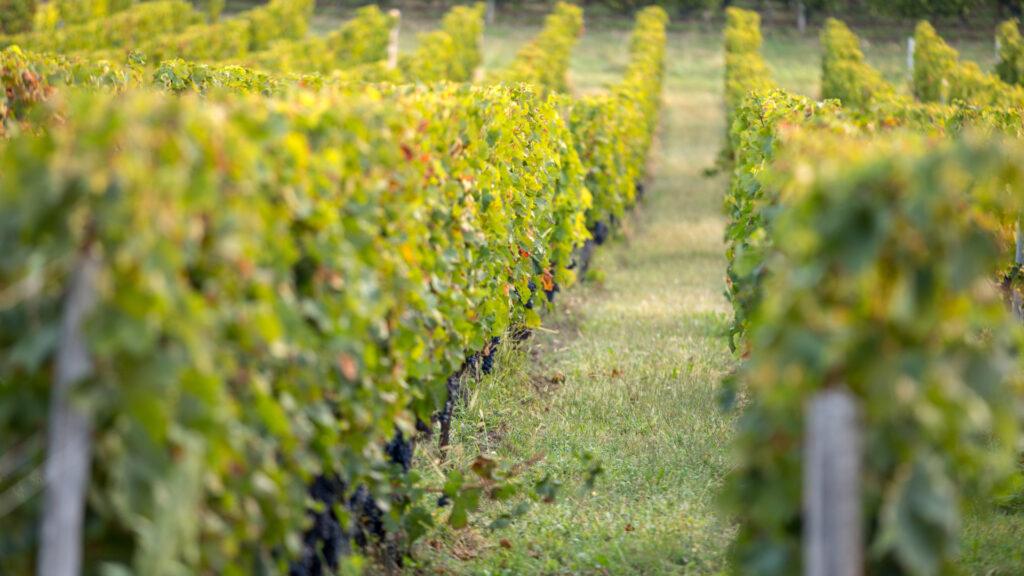 Vignes de Saint-Émilion