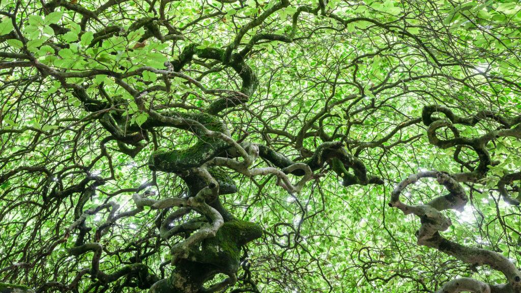 La forêt de Verzy