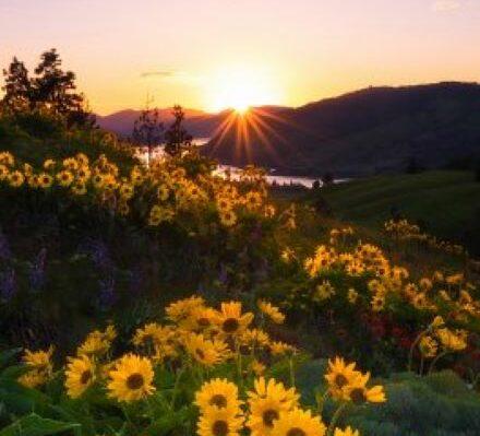Des tournesols au coucher du soleil