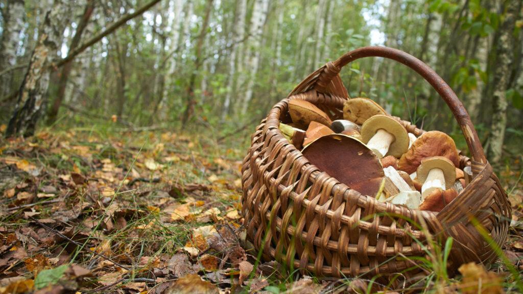 Randonner en automne en cueillant des champignons