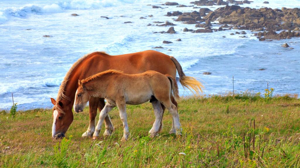 Chevaux sur la côte bretonne à Landunvez