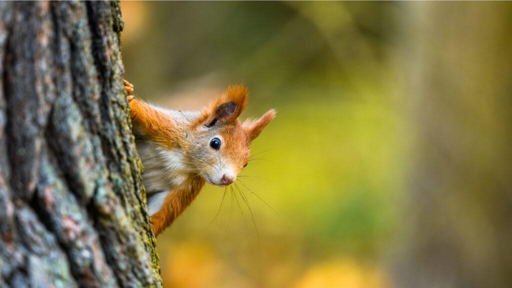 Écureuil dans une forêt en automne