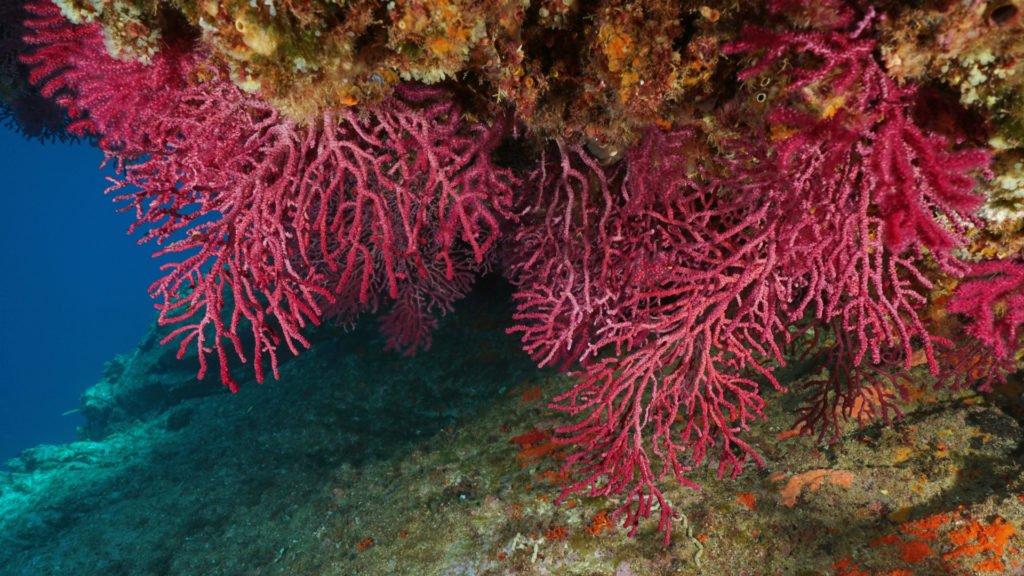 Corail rouge de Méditerranée dans le Parc national des Calanques