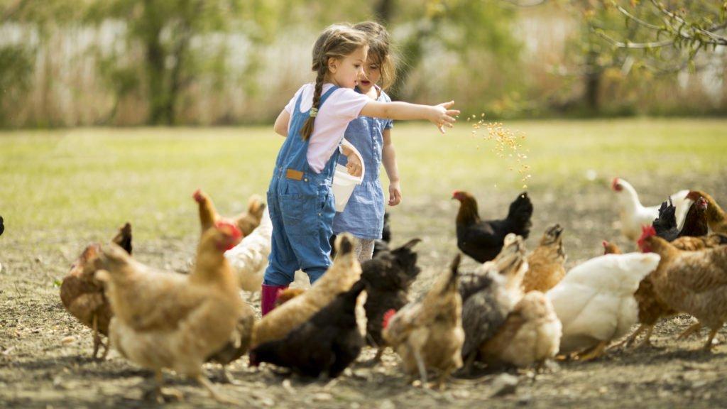 Nourrissage des poules dans une ferme pédagogique