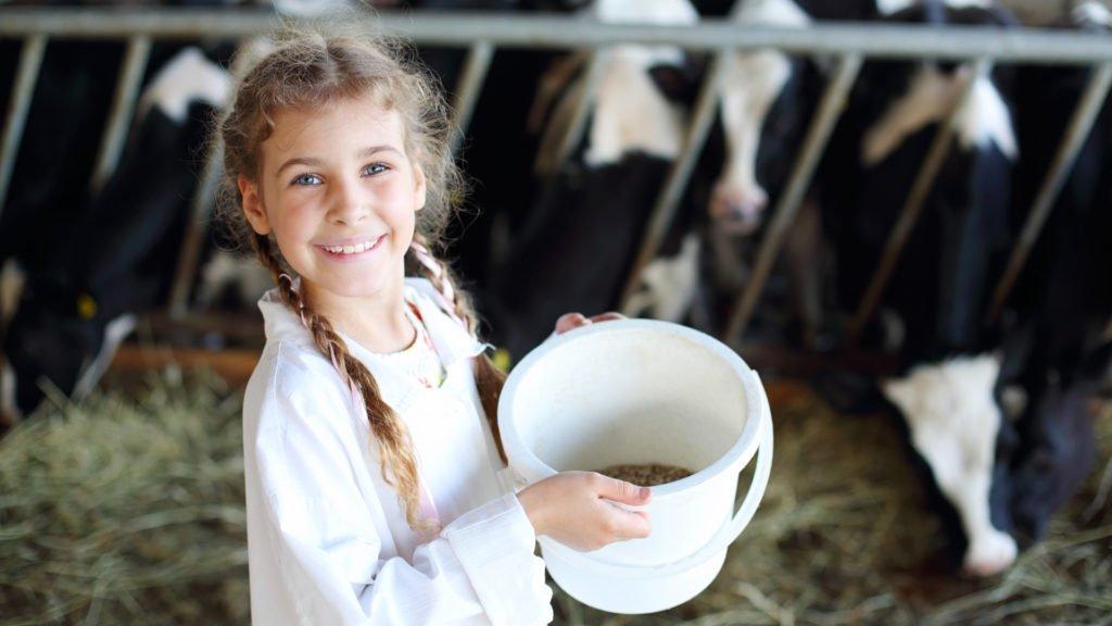nourrissage des vaches
