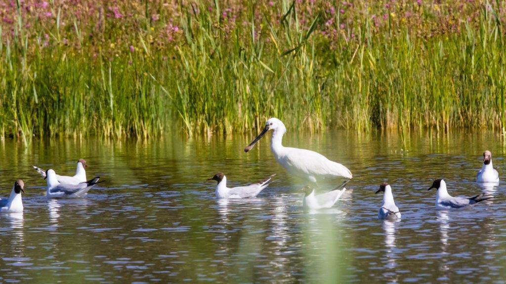 Oiseaux migrateurs en Baie de Somme, dans les Hauts-de-France