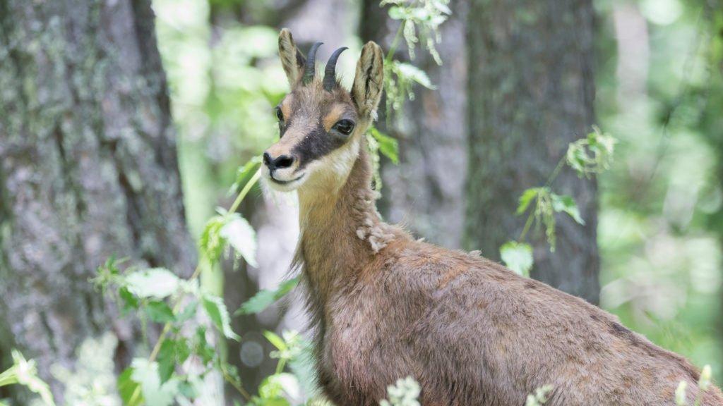 Chamois dans le Parc National des Écrins