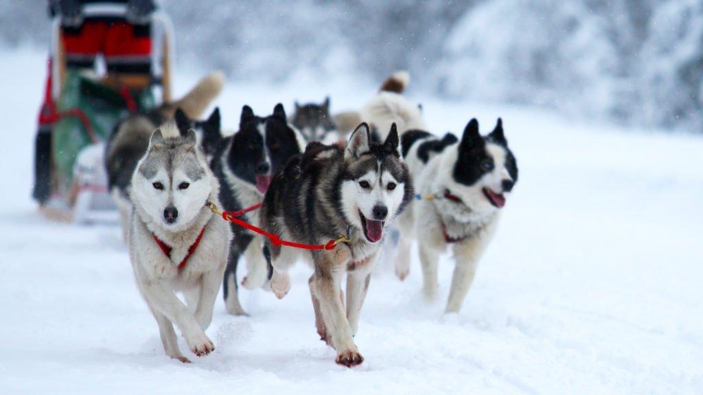 Balade en chiens de traineau dans les Cévennes